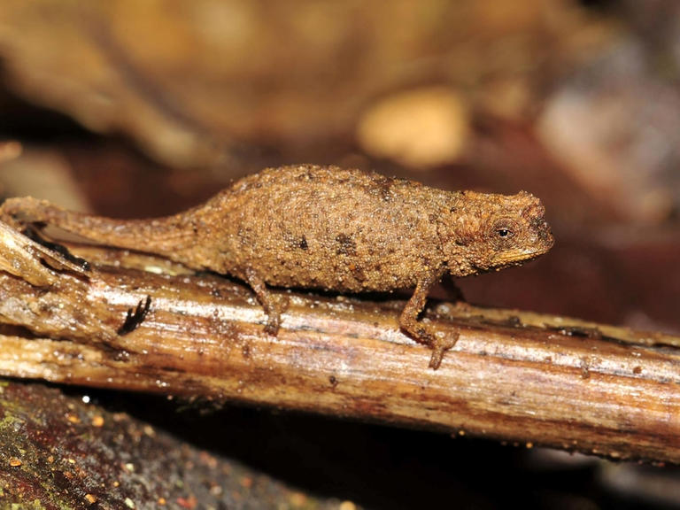اكتشاف أصغر نوع زواحف في العالم- صور-2