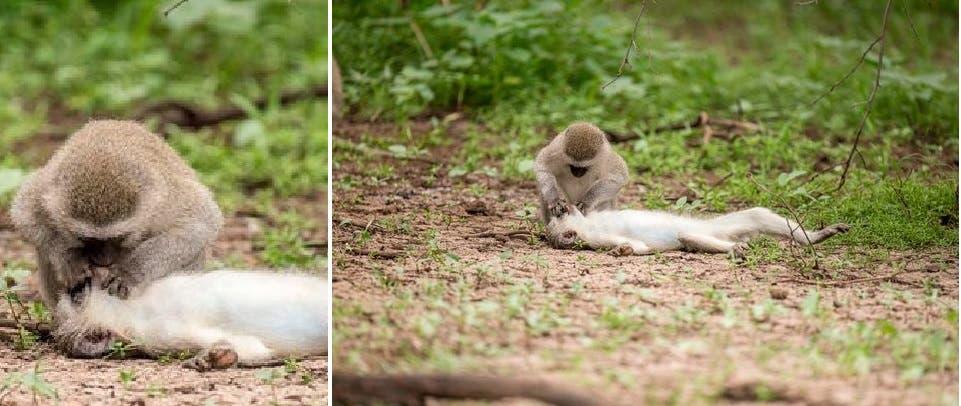 سعدان يُسعف أنثى من فصيلته بالإنعاش القلبي سقطت وفقدت الوعي - صور-1